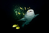 Nurse Shark at Night, Nebrius ferrugineus, Felidhu Atoll, Maldives
