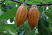 Frucht eines Kakaobaum, Palmenhaus, Royal Botanic Gardens, Kew, Richmond upon Thames, London, England
