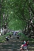 Platanenallee im Green Park, Westminster, London, England
