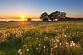 dandelions at Plauer Werder, lake Plauer See, Mueritz-Elde-Wasserstrasse, Mecklenburgische Seenplatte, Mecklenburg-West Pomerania, Germany
