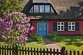 Lilac in front of a house with thatched roof, Wieck am Darss, Baltic Sea, Mecklenburg-West Pomerania, Germany