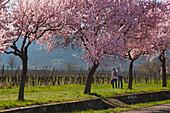 Almond blossom at Villa Ludwigshoehe, Mandelbluetenweg, Deutsche Weinstrasse (German Wine Road), Pfalz, Rhineland-Palatinate, Germany