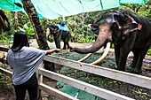 'A woman stands and holds out her hand to feed an elephant behind a fence at Na Muang Safari Park; Ko Samui, Chang Wat Surat Thani, Thailand'