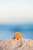 'A rare rainbow color Hawaiian Sunrise Scallop Seashell, also known as Pecten Langfordi, in the sand at the beach at sunrise; Honolulu, Oahu Hawaii, United States of America'