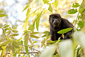 Animals In The Wild, Monkey, Nicaragua, Perched, Portrait, Primate, Relaxed, Sitting, Tree, Foliage, Leaf, , Animals, In, The, Wild, Photography, Color Image, Horizontal, Travel Destination, Outdoors, Day, No People, One Animal, Animal Themes, Looking At