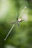 A spider in it's web, Hawaii, United States of America