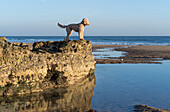 A dog stands on a rocky ledge looking out to the water and horizon with blue sky, Sunderland, Tyne and Wear, England