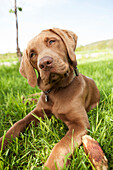 Close-up of a brown Labrador Retriever dog laying on the grass with it's head tilted and sad, serious eyes, Alaska, United States of America