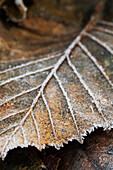 Close-up Detail eines frostbedeckten Blatt, Alaska, Vereinigte Staaten von Amerika