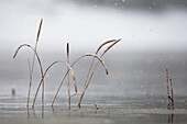Tall grasses submerged in water with raindrops falling against a grey background, Homer, Alaska, United States of America