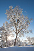 Trees covered in hoarfrost backlit by the sunlight against a blue sky, Alaska, United States of America