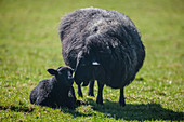 black lamb, sheep, dyke, Schleswig Holstein, Germany
