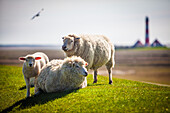 seagull, lambs, sheeps, Westerhever lighthouse, dyke, Schleswig Holstein, Germany