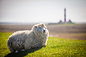 lamb, sheeps, Westerhever lighthouse, dyke, Schleswig Holstein, Germany
