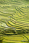Riceterrace, Highland, Sapa, Vietnam