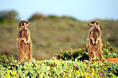 after the sunrise, Meerkat Magic, Oudtshoorn, South Africa