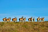 Eland Antelope, Addo Elephant park, Porth Elizabeth, South Africa