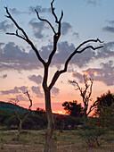 sunset tree, bushland, Madikwe game reserve, South Afcrica