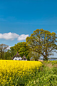 Thatched house and rape field, Schlei fjord, Baltic coast, Schleswig-Holstein, Germany