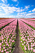 Blue sky on rows of pink tulips in bloom in the fields of Oude-Tonge, Goeree-Overflakkee, South Holland, The Netherlands, Europe