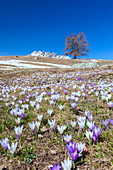 Blue sky on the colorful crocus flowers in bloom, Alpe Granda, Sondrio province, Masino Valley, Valtellina, Lombardy, Italy, Europe