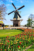 Typical windmill framed by multicolored tulips in bloom, Keukenhof Botanical Garden, Lisse, South Holland, The Netherlands, Europe
