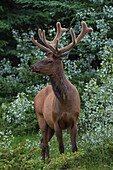 Bull Elk with velvet covered antlers in Jasper National Park, UNESCO World Heritage Site, Alberta, Canada, North America