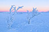 Plants ice encrusted in an uninhabited area of Lapland, Riskgransen, Norbottens Ian, Lapland, Sweden, Scandinavia, Europe