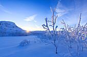 Last sun on frost plants, Riskgransen, Norbottens Ian, Lapland, Sweden, Scandinavia, Europe