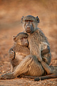 Chacma Baboon (Papio ursinus) comforting a young one, Kruger National Park, South Africa, Africa