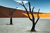 trees of Namibia,namib-naukluft national park, Namibia, africa
