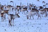 Reindeer grazing, Riskgransen, Norbottens Ian, Lapland, Sweden,Europe