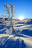 Vegetation covered with frost in a wild area of Swedish Lapland, Riskgransen, Norbottens Ian, Lapland, Sweden,Europe