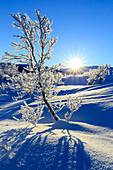 Vegetation mit Frost bedeckt in einem wilden Gebiet des schwedischen Lappland, Riskgransen, Norbottens Ian, Lappland, Schweden, Europa
