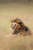Lion in the Masai Mara grassland
