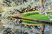White cherry tree and flowers are reflected in a pond Keukenhof Botanical garden Lisse South Holland The Netherlands Europe