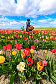 People admire the multicolored tulips in fields Yerseke Reimerswaal province of Zeeland Holland The Netherlands Europe
