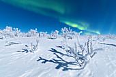 Gefrorene Bäume mit Schnee bedeckt unter der Aurora Borealis, Abisko, Gemeinde Kiruna, Norrbotten County, Lappland, Schweden