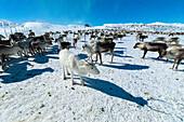 Herde Rentiere im Schnee in der Polarnacht, Abisko, Gemeinde Kiruna, Norrbotten, Lappland, Schweden
