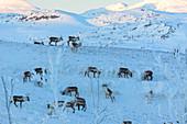 Herde von Rentieren im Schnee, Abisko, Gemeinde Kiruna, Norrbotten, Lappland, Schweden