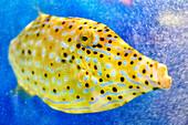 Beautiful spotted yellow boxfish (Ostracion cubicus) underwater, Cozumel, Yucatan Peninsula, Mexico