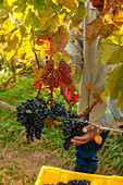 A worker clips a bunch of grapes during the harvest at a Vineyard in Virginia. Crisp, cool, and dry weather makes for the best harvest.