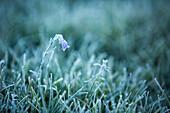 Schöne Natur Foto mit Nahaufnahme von Gras mit Frost, Hillsdale Meadows, Banff-Nationalpark, Alberta, Kanada