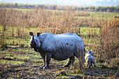 Female one Horned Rhino, Rhinoceros unicornis, with Fifteen days youngone at Kaziranga National Park, Assam, India.