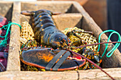 A recently caught lobster on a bait bag at Friendship Lobster Coop in Friendship, Maine