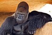 Head and shoulders shot of gorilla