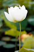 France, Paris. Val de Marne. Vincennes. Parc Floral de Vincennes. The Aquatic Garden. Closeup of a blooming Indian lotus (Nelumbo nucifera).