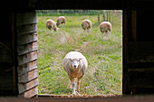 France, Paris. Vincennes. Bois de Vincennes. La Ferme de Paris. Organic agriculture and farming educational farm. Organic sheep returning to the fold.