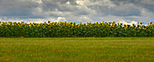 France, Dordogne, Bourdeilles, panorama shooting of a sunflower field