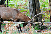 France, Burgundy, Yonne. Area of Saint Fargeau and Boutissaint. Slab season. Stag striking its wood against the trunk of tree.